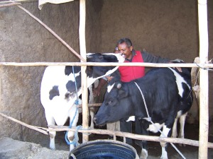 Local farmers observe an increase in their milk yield by feeding maize silage